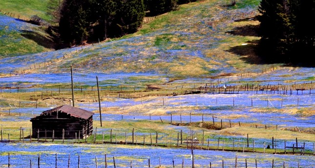 The Kadırak Highlands in Trabzon is a natural protected area to set aside to protect blue star blossoms.