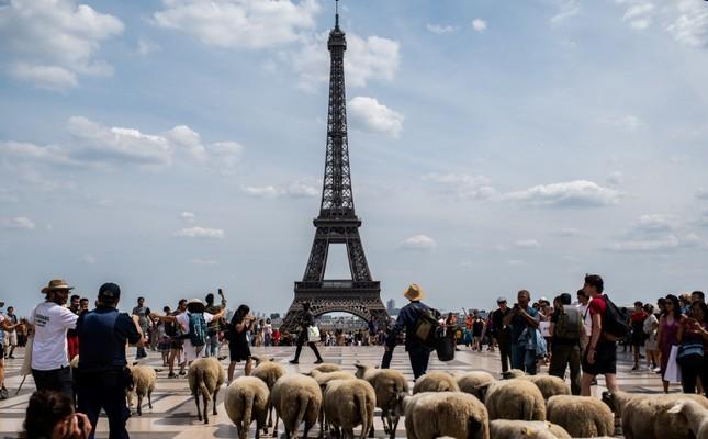 A farmer leads sheep during an urban transhumance in Paris on July, 17 2019 AFP Photo