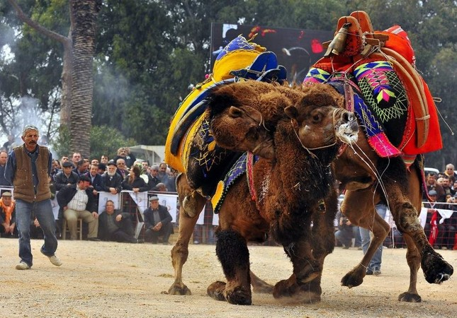 Camel wrestling is a very old tradition, especially in western Turkey. (AA Photo)