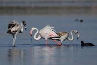 Flamingos begin migration from Lake Van
