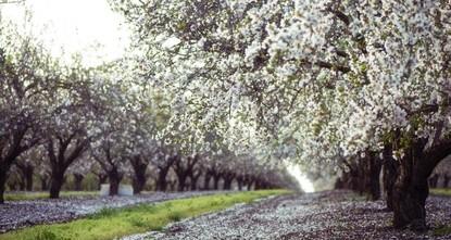 Datça ready for annual Almond Blossom Festival