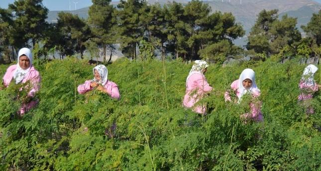 Local women from the Nurda? district of Gaziantep harvest moringa. (AA Photo)
