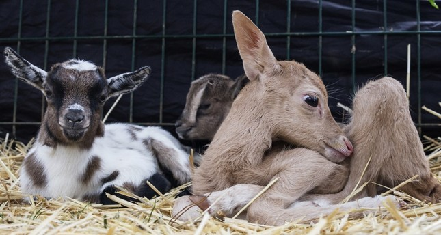 Abandoned fawn adopted by goat at Istanbul zoo
