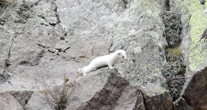 Elusive ermine caught on camera in northern Turkey