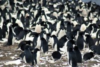 Scientists discover 1.5M Adelie penguins on remote Antarctic islands
