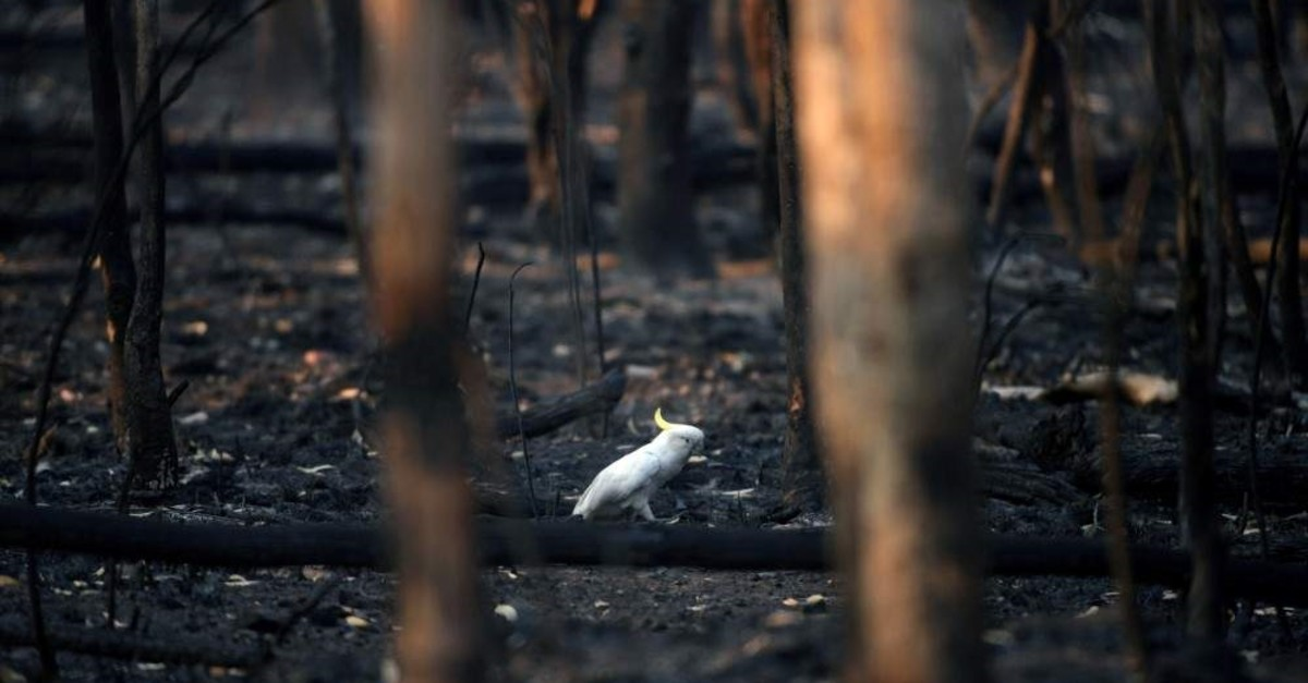 An injured sulfur-crested cockatoo walks through the burnt ground of Kosciuszko National Park in Providence Portal, New South Wales, Australia, Jan. 11, 2020. (REUTERS/Tracey Nearmy)