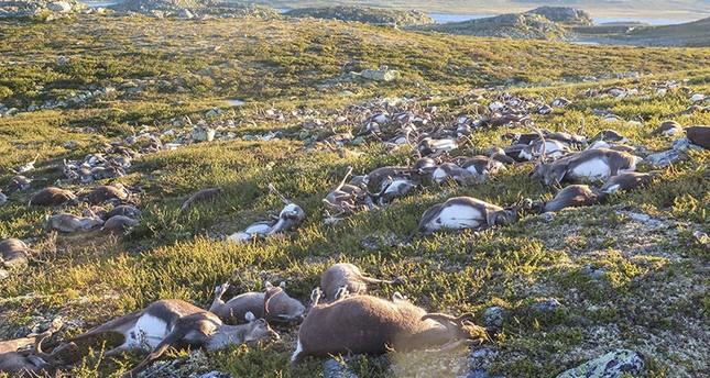Blitze töten mehr als 300 Rentiere in Norwegen