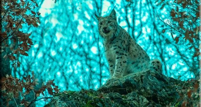 Turkish photographer captures closeup shots of endangered Balkan lynx