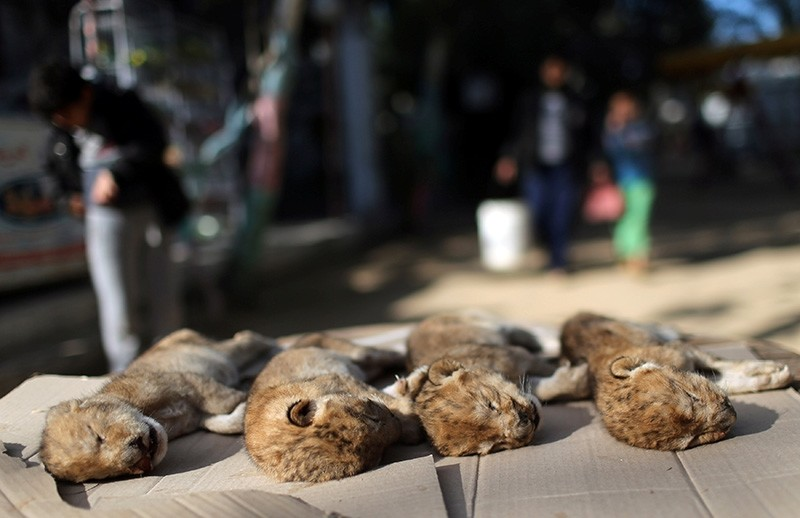 Bodies of four baby lion cubs that died in a zoo, are seen in the southern Gaza Strip, Jan. 18, 2019. (Reuters Photo)