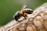 Tiny Dancers: Scientists decode over 1,500 bee 'dances' to help conservation