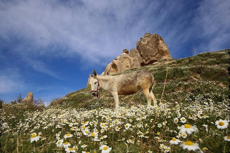A donkey grazes in a field  near Cappadocia in Turkey's central Nevu015fehir province (AA Photo)