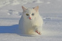 Turkish Van Cat amazes with its odd-coloured eyes