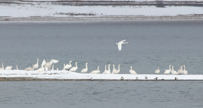 Lake Van basin welcomes wild swans of north