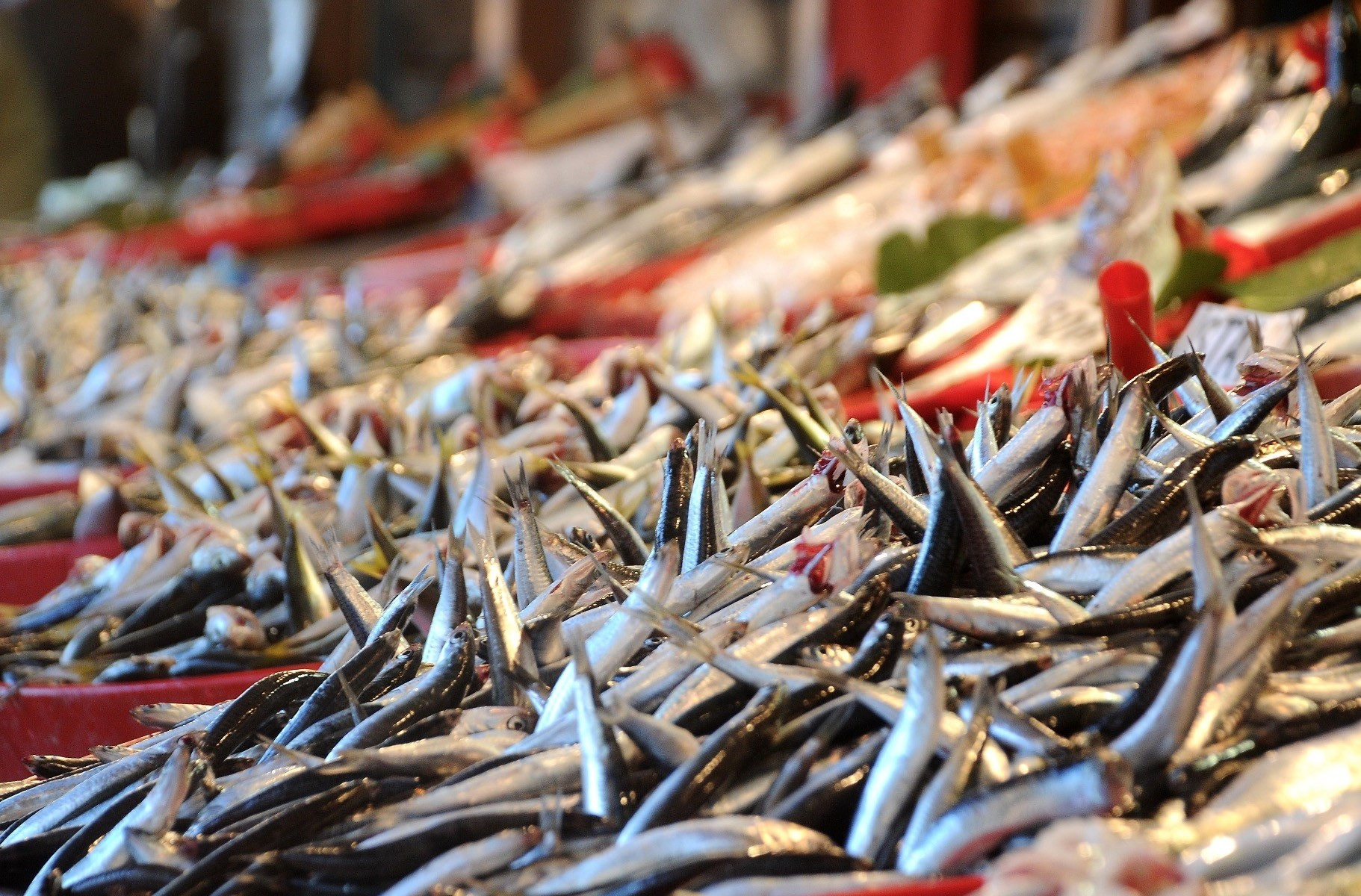 Hamsi, or Anatolian anchovies, could be considered Turkeyu2019s national fish. Abundant in the Black Sea, especially during the winter, hamsi is more than a simple sea creature for the people of the Black Sea region.