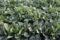 Spinach has doping effect, new research says