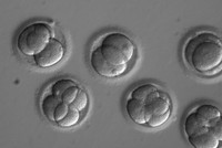 Altering human heredity? In a first, researchers safely repaired a disease-causing gene in human embryos, targeting a heart defect best known for killing young athletes — a big step toward...