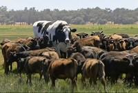 Австралийский бык избежал скотобойни из-за аномального размера