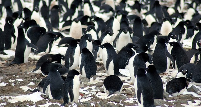This undated handout photograph released by Louisiana State University on March 2, 2018, shows Adélie penguins nesting on the Danger Islands, Antarctica. (AFP Photo)