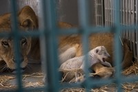 Lion rescued from Syrian zoo gives birth hours after arriving in Jordan reserve