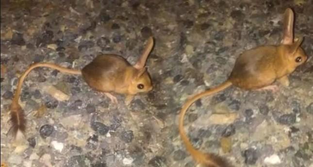 Nearly threatened kangaroo rats discovered in Turkey's Tunceli