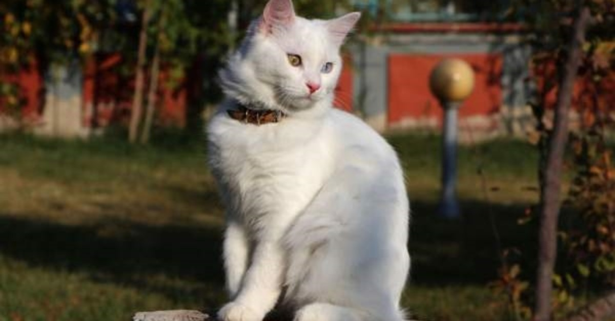 Van cat breed will be represented at the International Cat Beauty Pageant in Istanbul. (DHA Photo)