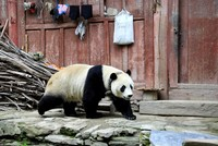 Residents of Chinese town surprised to see giant panda strolling around