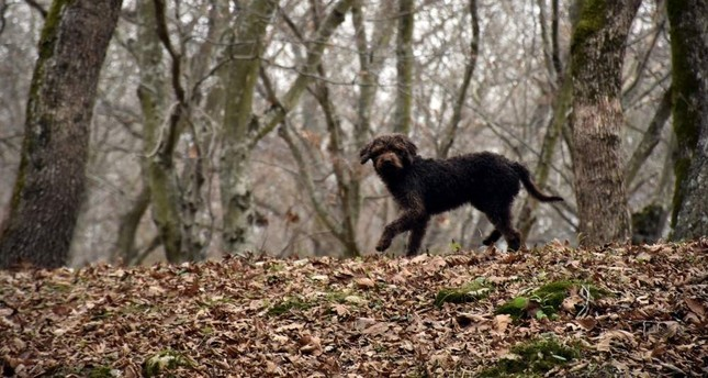Arthur is a chocolate-colored Lagotto Romagnolo, a breed particularly gifted at finding truffles. DHA Photo