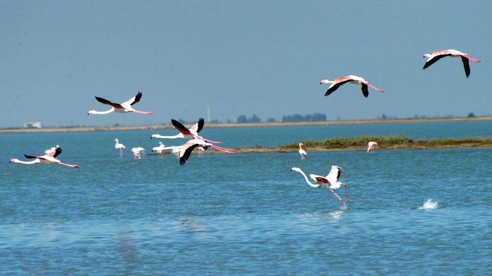 Flamingos flying over Akyatan Lagoon in Adana.