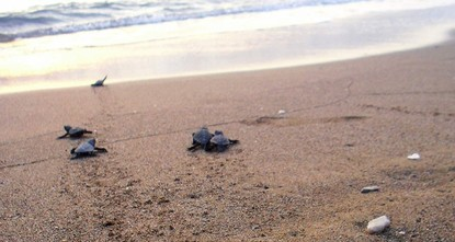 pNearly half a million native baby sea turtles managed to reach the sea this year from Turkish beaches, Turkey's forestry and water affairs minister told Anadolu Agency on Thursday./p