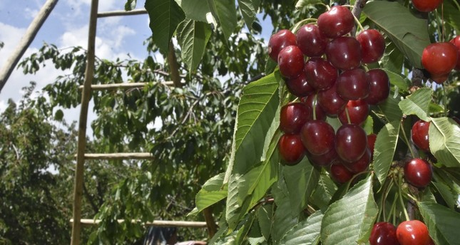 Record on the horizon in Turkey's cherry exports