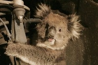 For a stowaway who made a 16-kilometer (10-mile) journey squeezed in a wheel arch, a koala was lucky to escape with just scratches.