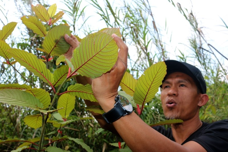 This picture taken on December 25, 2018 shows Indonesian kratom grower Gusti Prabu tending to his plants at a farm in Pontianak, West Kalimantan. (AFP Photo)