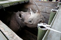 Kenyan minister under fire over death of 10 rhinos in disastrous transfer