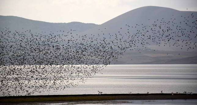 Migratory birds takes shelter in Muş Plain, enliven the wetlands