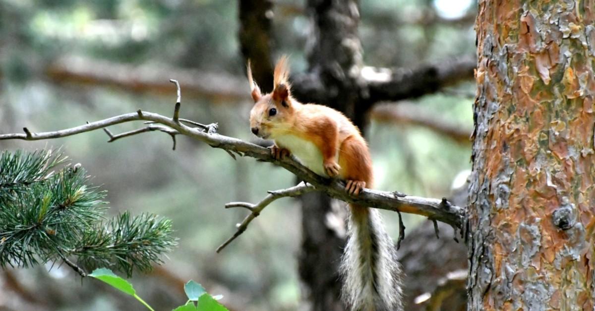 A squirrel captured by a wildlife photographer in Saru0131kamu0131u015f, Kars.