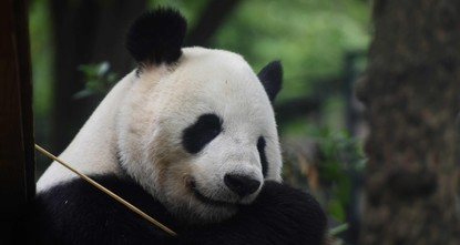 pJapanese well-wishers flocked to a Tokyo zoo Wednesday to get their last glimpse of a possibly pregnant panda before she goes into confinement./p