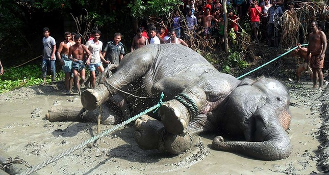 A tranquillised wild elephant lying on the ground after being pulled from a pond by Bangladesh forest officials and villagers in the Jamalpur district, some 150 kms north of capital Dhaka. (AFP Photo)