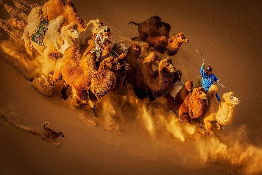 Camels In The Desert, Mongolia - 2nd place in General Color category
