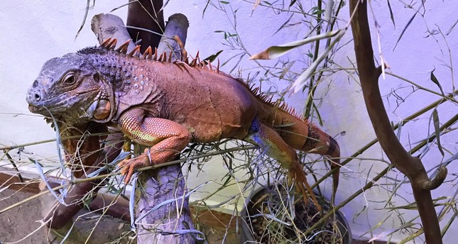 Abandoned pet iguana finds new home