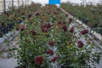 The rare black rose, which attracts local and foreign tourists alike to the southeastern Turkish district of Halfeti, is set to be grown in a greenhouses as part of a new initative to save the...