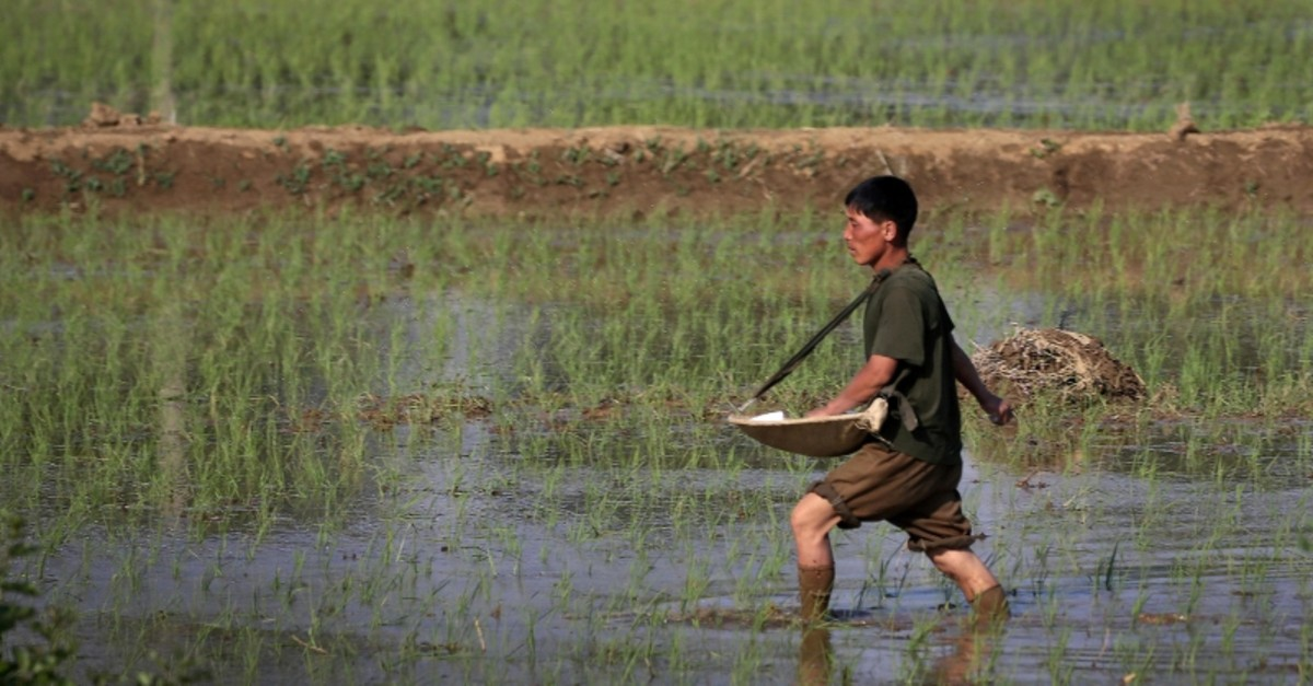 In this June 13, 2017, file photo, a farmer fertilizes rice seedlings in fields located along a highway in Pyongyang, North Korea. (AP Photo)