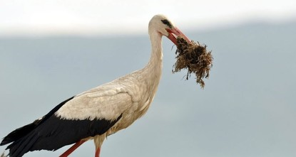 pStorks, which can be easily be spotted among other migratory birds in the sky thanks to their long, red legs and beak, are one of the most popular bird species, making their way into nearly every...