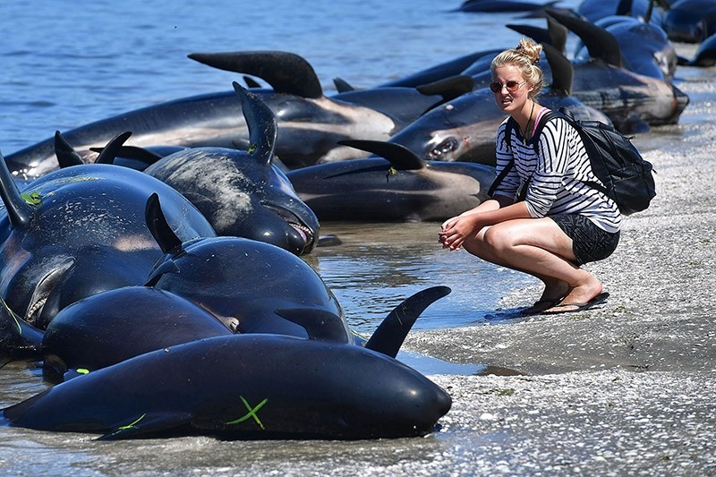 A member of the public looks at the dead Pilot whales during a mass stranding at Farewell Spit on February 11, 2017. (AFP Photo)