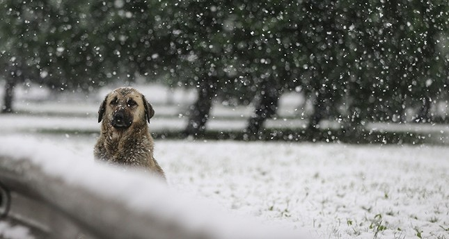 A stray dog watches snow fall in Istanbul on Dec. 12, 2018. (AA Photo)