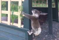 Dead koala found screwed to post in 'sick' act in Australia