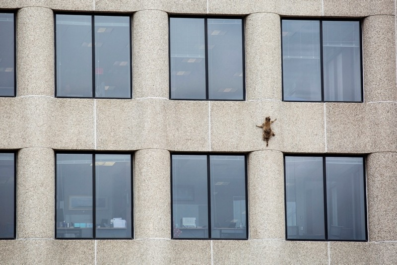 A raccoon scurries up the side of the UBS Tower in St. Paul, Minn., on Tuesday, June 12, 2018. (AP Photo)
