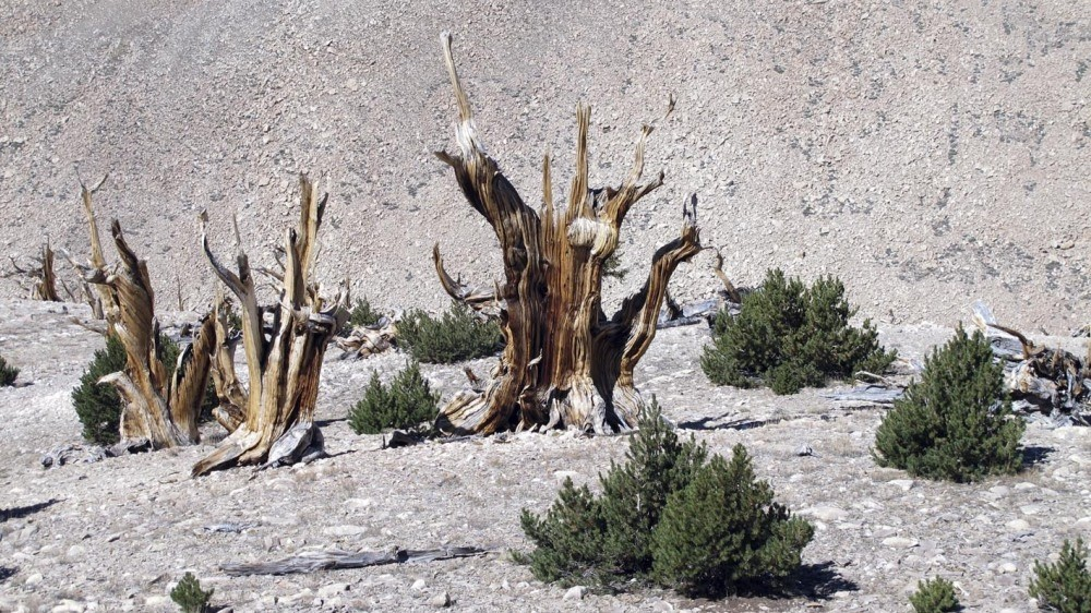 The photo shows gnarled, bristlecone pine trees standing with young limber pines in the White Mountains.