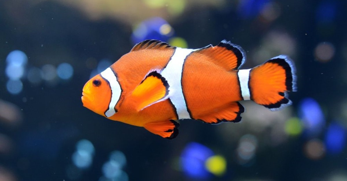 The clownfish is one of the fish species threatened by light pollution.