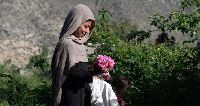 An Afghan farmer harvests rose petals in a rose garden near Jalalabad.
