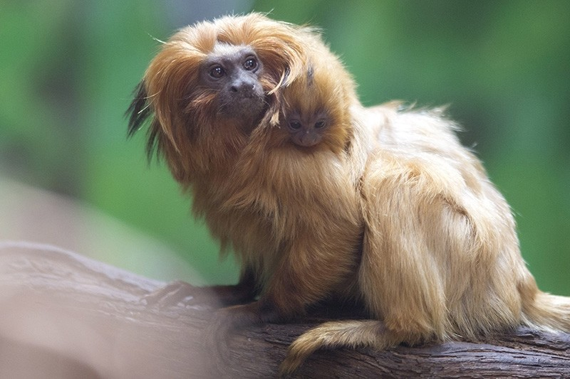 A golden lion tamarin monkey holds its newly born baby at a zoo in Jerusalem, Thursday, March 22, 2018 (AP Photo)